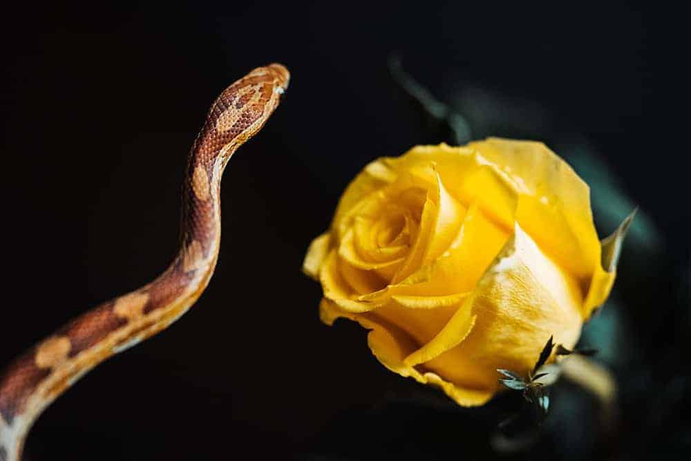 serpent et rose jaune image gratuite picjumbo